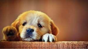 Cute-Puppy-Sad